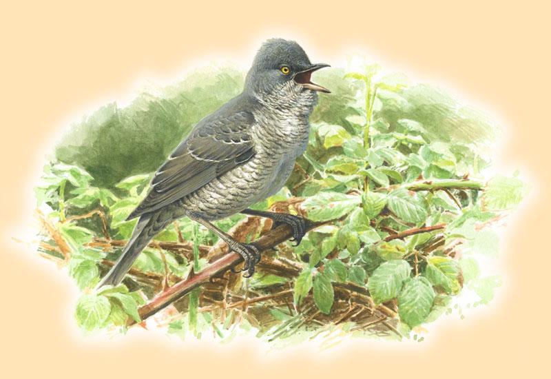 Sperbergrasmücke, Paschalis Dougalis, Aquarell für den Atlas Deutscher Brutvogelarten